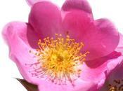 Fabuleuse huile rose musquée