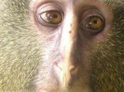 petit nouveau singe Lesula
