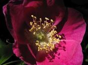 Rosa pendulina, Rosier Alpes
