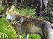 Loup autorisation defense dans Vosges