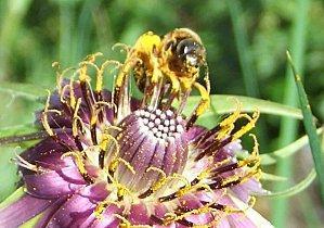 abeille salsifice 2