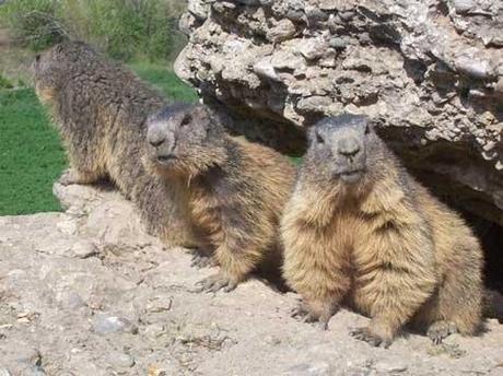 Marmottes_saint_veran