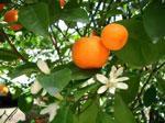 fruit saison mandarine recette histoire