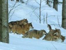 Urgence Action pour loup
