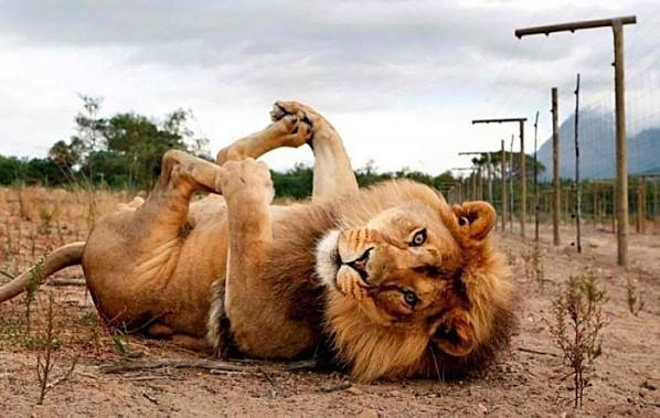 relax-massage-lion.jpg