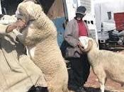 mouton encorne poches marocains