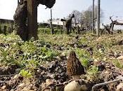 Morilles dans vignes Mirebeau