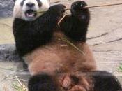 bébé Panda pour réconcilier Japon Chine