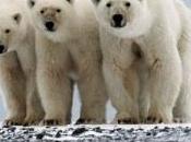 ours polaires chassés légalement chaque année