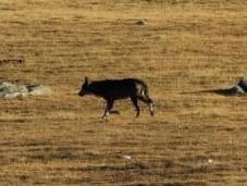 loup revient