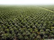 Huile palme Unilever cède pression Greenpeace appelant moratoire immédiat déforestation Indonésie