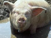 Traçabilité carne) porc