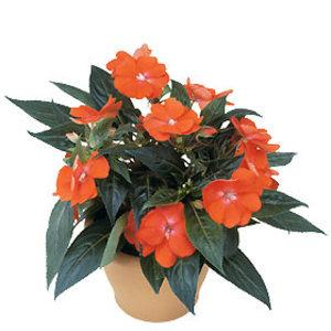 Interflora_impatiens