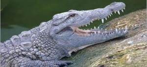 crocodile mexique