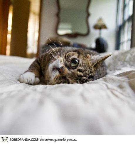 dwarf-kitten-lil-bub-cat-20
