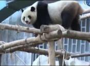 panda géant, star téléréalité thailande, part chercher l'amour Chine