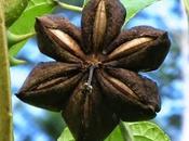 L'huile végétale d'Inca Inchi