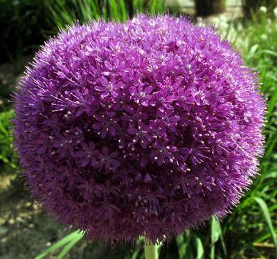 Allium giganteum (Ail géant)