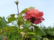 roses Toussaint