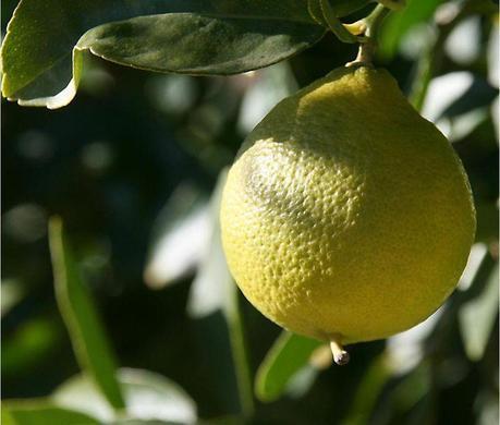 Lime de perse jaune