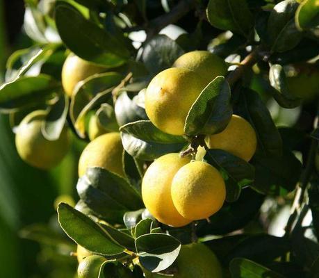 Limequat Citrus × floridana