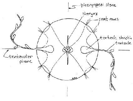 Symétrie biradiale chez les cténaires