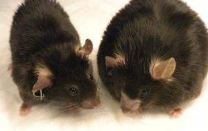 OBÉSITÉ: Amlexanox, le prochain médicament brûleur de graisses ? – eLife et Nature Medicine