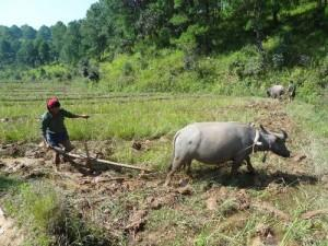 Myanmar_agriculture_bufle