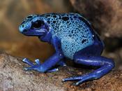 Grenouille Bleue Toxique Suriname
