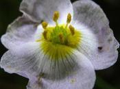 Baldellia ranunculoides (Alisma fausse-renoncule, Flûteau fausse-renoncule)