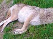 étude montre louve retrouvée morte juillet 2013 Pays-Bas déplacée