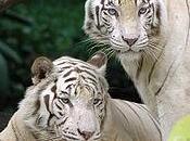 Tentative suicidé ratée grâce tigres