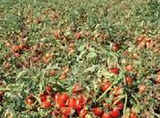 Agriculture 3.000 hectares pour tomate industrielle Guelma