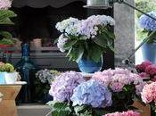 """L'Hortensia Hydrangéas plante bonheur"""""""