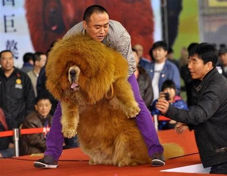 Top Le chien le plus cher du monde (1,4 million d'euros) - Paperblog KT76