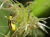 Etats-Unis, maïs transgénique résiste plus l'insecte qu'il ciblait