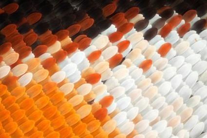 Danaus plexippus, Linden Gledhill