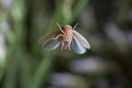 Cicadelle, Linden Gledhill