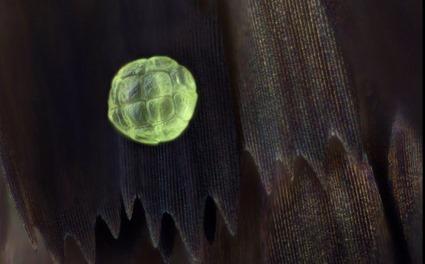 Protographium agesilaus et grain de pollen, Linden Gledhill (2)