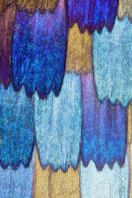 Junonia rhadama, Linden Gledhill