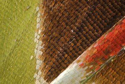 Graphium weiskei arfakensis, Linden Gledhill (2)