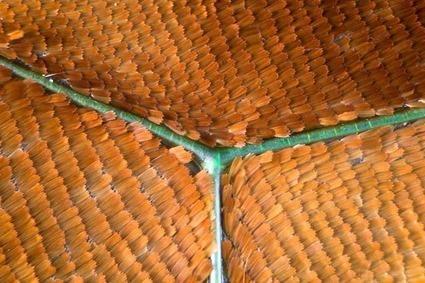 Graphium weiskei arfakensis, Linden Gledhill