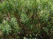 L'Euphorbia dendroides l'euphorbe arborescente