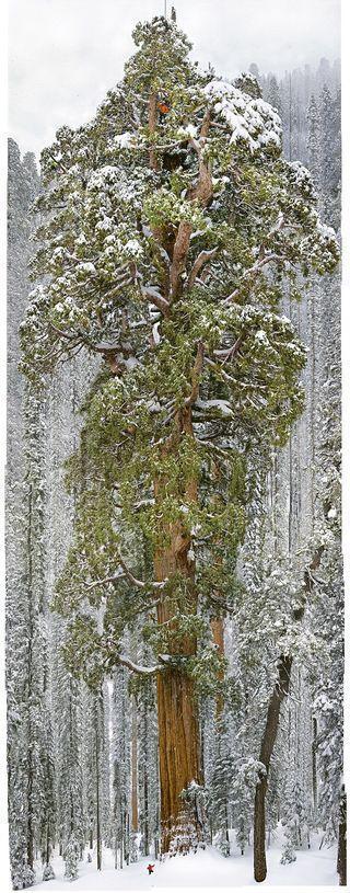Sequoia géant_grand