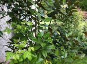 Magnolia ever