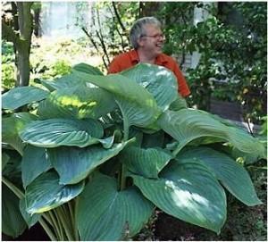Dans la famille des Hostas, je demande les géants. Une plante à adopter pour tous les jardins