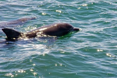 Les Dauphins de Nelson Bay