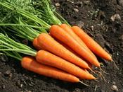 L'huile essentielle carotte