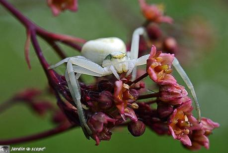 Thomise misumena vatia - Thomise variable ou araignée crabe