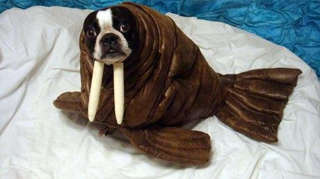 cosplay-dog-animaux-chien-déguisement-mogwaii (16)